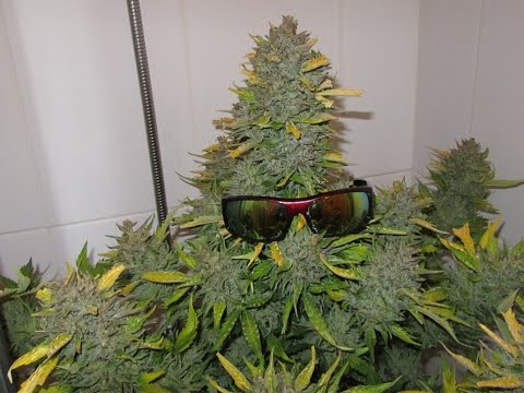 The climate of growing marijuana the herb advisor - How to plant a flower garden for dummies ...